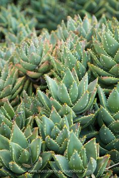 Thick firm leaves are a sign succulents, like this Aloe, are getting enough water