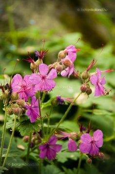 Illatos gólyaorr Geranium Macrorrhizum, Geraniums, Plants, Plant, Planets