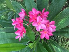 Plumeria Plant Live Plant Fully Rooted whole plant