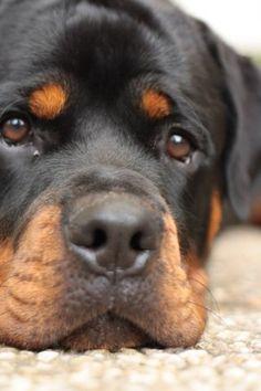 Beautiful Rottweiler face