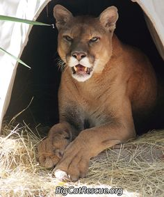 Keeper Brittany got a cute snapshot of Mickey. Big Cat Rescue, Animal Rescue, Funny Cats, Funny Animals, Wild Animals, Cat Sneezing, Mountain Lion, Cat Valentine, Domestic Cat