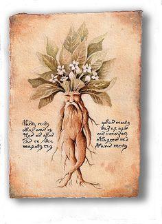 """MANDRAGORA: era usada para acalmar os ânimos. Quem a tomasse algumas gotas da tintura, preparada com a erva macerada e álcool, caía em sono profundo. Suas folhas secas, misturadas ao açafrão e a cânfora formavam um pó mágico para afugentar os inimigos. Suas propriedades já eram conhecidas pelos romanos que, com o suco de seus frutos, dilatavam as pupilas para realçar sua beleza. Por isso, passou a ser chamada de """"belladonna"""", que quer dizer """"mulher bonita"""""""