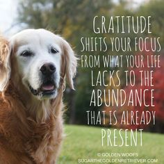 3 inspiring Gratitude quotes for Thanksgiving Golden Retriever Quotes, Old Golden Retriever, Golden Retrievers, Puppy Quotes, Inspirational Bible Quotes, Motivational Quotes, Intelligence Quotes, Lancaster Puppies, Thanksgiving Quotes