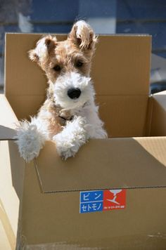 """""""Don't know if I'm coming or going?"""" #dogs #pets #WireFoxTerriers facebook.com/sodoggonefunny Would be my choice for Christmas!"""