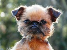 Hello! An Ewok! Brussels Griffon's are the sweetest!