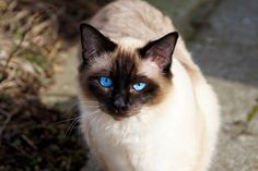 Siamese cats are one of the most famous, loved cat breeds of all time. Check out some interesting Siamese cat facts and what is their origin. Cute Kittens, Cats And Kittens, Ragdoll Kittens, Balinese Cat, Seal Point Siamese, Cat With Blue Eyes, Gatos Cats, Pet News, Snowshoe
