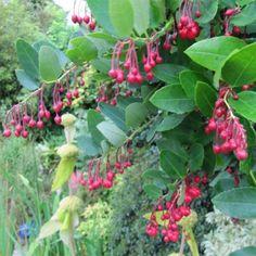 Berberidopsis corallina - Plante Corail - Une grimpante arbustive élégante et persistante, aux fleurs en clochettes globulaires rouge corail cireux