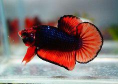 Live Betta Fish *DEVIL FIRE* 3 HMPK