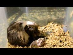 Cobaya teniendo bebes (parto)/Guinea pig having babies ( birth) 1/4