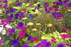 Petunia Companion Planting: Tips On Choosing Companions For Petunias - Petunias are fantastic annual bloomers. If you're really serious about adding some color to your garden or patio, you might want some companions to mix things up a bit. This article will help with learning what to plant with petunias.