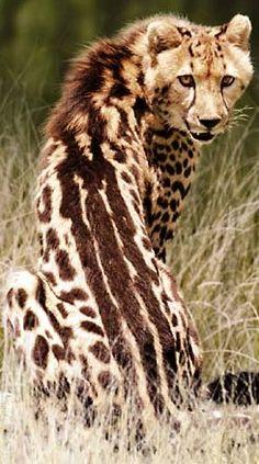 esho84 (Guepardo rey (Acinonyx jubatus))