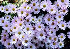 울릉국화(구절초), Chrysanthmum zawadskii var. latilobum KITAMURA