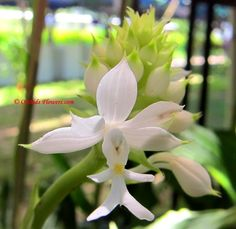 Christmas Orchid Calanthe triplicata (Willemet) Ames 1907