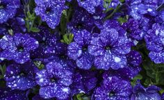 Petunien blühen in den Sommermonaten unermüdlich und begeistern mit leuchtenden Blütenfarben. Hier lesen Sie alles zu Pflanzung und Pflege der verschiedenen Arten und Sorten.