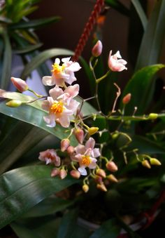 Orchid Oncidium Twinkle 'White-Light Pink'