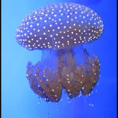 Australian spotted jellyfish or White spotted jellyfish live in oceans and coastal waters. You can find them throughout Australia. The species is also found in the waters of the Hawaiian Islands since at least 1945 but have not experienced the same type of massive population explosion in the Caribbean and the Gulf of Mexico. The ecological impact of species in these waters has not been determined. It was spotted off the southern California coast but not confirmed. It grows to the size of…