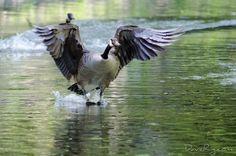Barefoot water skiing #outdoors #nature #wildlife #goose #waterfowl #bird #geese #water #landing #feathers #beautiful #nikon #canada #ourheavenplanet #earthcapture #earthfocus #Ultimate_Wildlife #wonderlustoutdoors #instapic #picoftheday