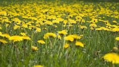 Spring is Just Around the Corner... Time to start thinking of DANDELION WINE.
