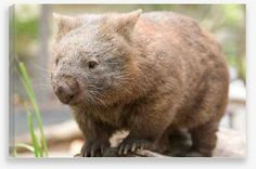 Canvas Wall Art – Wombat