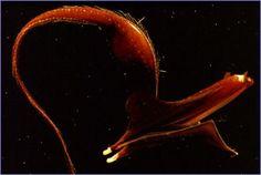Pez pelícano Es un pez abisal muy raramente visto pero de vez en cuando queda enganchado en redes de pescadores. Su tamaño varía entre los 61 centímetros y el metro de longitud, se suelen encontrar en profundidades desde los 300 metros hasta los 8000 metros de profundidad.