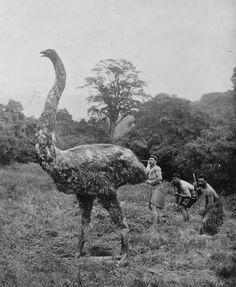 Moa now extinct