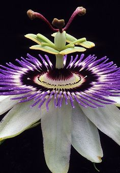 Gorgeous Passion Flower photography by Warren Krupsaw-- Butterflies love passion flowers.