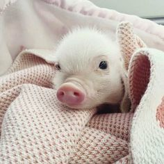 Penny the Piglet ❤ Cute Baby Pigs, Baby Piglets, Cute Piglets, Cute Funny Animals, Cute Baby Animals, Animals And Pets, Cute Dogs, Mini Pigs, Pet Pigs