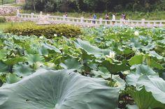 < Lotus > Korea Temple in Gangwon-do Province - Naksansa Temple  2014.08.24