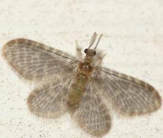 Nallachius americanus [Pleasing Lacewing]