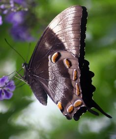 Butterfly (Papilio Ulysses)  by Forto