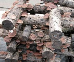 Growing Shiitake Mushrooms is Easier Than You Think.  How to video bottom of page.