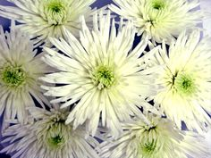 Anastasia White - Disbuds/Mums - Chrysanthemum - Flowers by category | Sierra Flower Finder