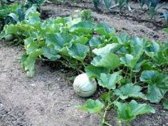 The melon is a very tasty fruit vegetable that is grown in the garden for . - - Melon is a very tasty fruit Herb Garden Pallet, Potager Garden, Pallets Garden, Garden Planters, Fruit Garden, Growing Vegetables, Growing Plants, Easy Garden, Garden Art