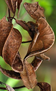 leaf-tailed gecko (uroplatus phantasticus), also known as a satanic leaf-tailed gecko, at the andasibe-mantadia national park in madagascar. photothomas marent