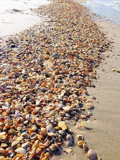 Sea shell paradise!! The islands of #Sanibel and #Captiva | www.Tween-Waters.com #Captivafloridabeachvacations