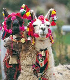 Lamas http://lamas-in-aachen.blogspot.com/2012/06/lamas-in-peru.html