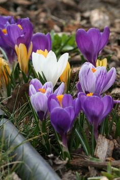 Some years the spring bulbs really rock. Here are some favorites looking their best. Spring Bulbs, Spring Blooms, Daffodils, Tulips, Glory Of The Snow, Spring Flowering Trees, Iris Reticulata, Spring Landscape, Planting Bulbs