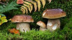 Pilze sammeln - essbar oder giftig?, Quelle: WDR