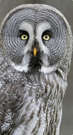 The Great Grey Owl does not have ear tufts and has the largest facial disc of any raptor.