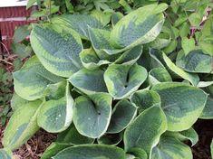 Tokudama Flavocircinalis hosta x Hosta Plants, Shade Perennials, Light Purple Flowers, Lavender Flowers, Hosta Care, Hosta Varieties, Shade Garden Plants, Hosta Gardens