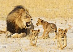 Cecil With His Cubs by edwardh. Please Like http://fb.me/go4photos and Follow @go4fotos Thank You. :-)