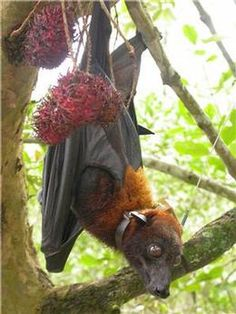 The southeast Asian flying fox is a magnificent animal, and needs international protection from over-hunting.