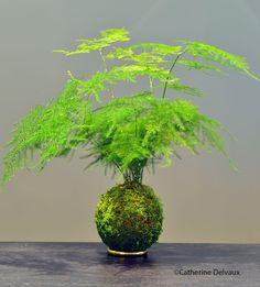 Kokedama Asparagus plumosus
