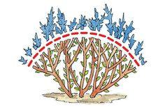 Спирея отлично переносит обрезку, не стоит бояться удалить что-то лишнее, придавая форму растению