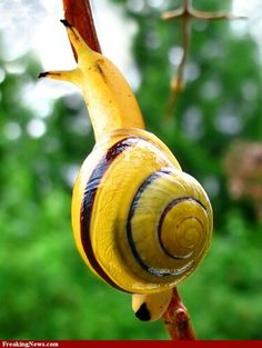 Banana snail woh
