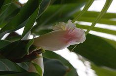 flor de caña de la india DFC.