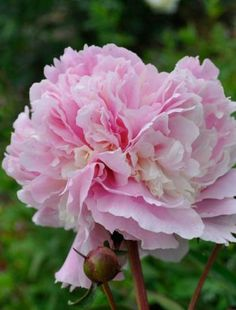 Peony 'Angel Cheeks'  Ruffled, double pale pink flowers infused with cream. Pales to blush pink with age. Sturdy stems with good foliage. Mild fragrance. Mid season.