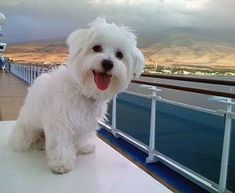 Picture of Indy, a female Coton de Tulear