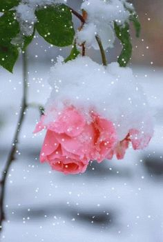 Frozen Pink Roses pink winter animated snow roses cold gif frozen ice