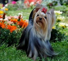 Nicoletta Pollini-Emy Yorkie Terrier Mix, Yorshire Terrier, Silky Terrier, Yorkie Puppy, Yorkie Cuts, Yorkie Hairstyles, Yorkshire Terrier Haircut, Yorkie Clothes, Cute Small Dogs